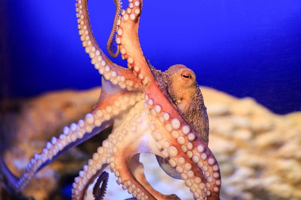 Im Sea Life am Timmendorfer Strand kann man sowohl heimische als auch tropische Meeresbewohner wie den Oktopus bestaunen. (c) Sea Life